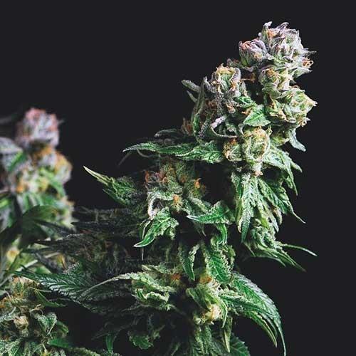 Purple Urkle  - Pyramid Seeds - Seed Banks