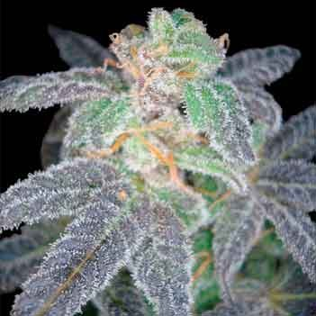 Purple OG #18 - Reserva Privada - Seed Banks