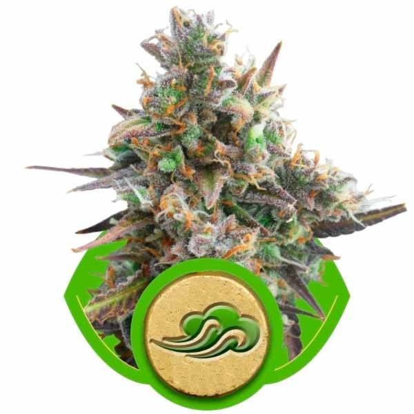 ROYAL BLUEMATIC - Royal Queen Seeds - Seed Banks