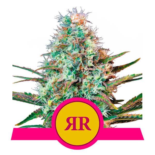 Royal Runtz - Royal Queen Seeds - Seed Banks
