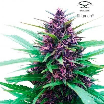 SHAMAN REG - Dutch Passion - Seed Banks
