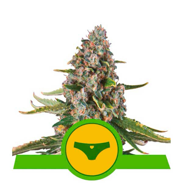 Sherbet Queen Automatic - Royal Queen Seeds - Seed Banks