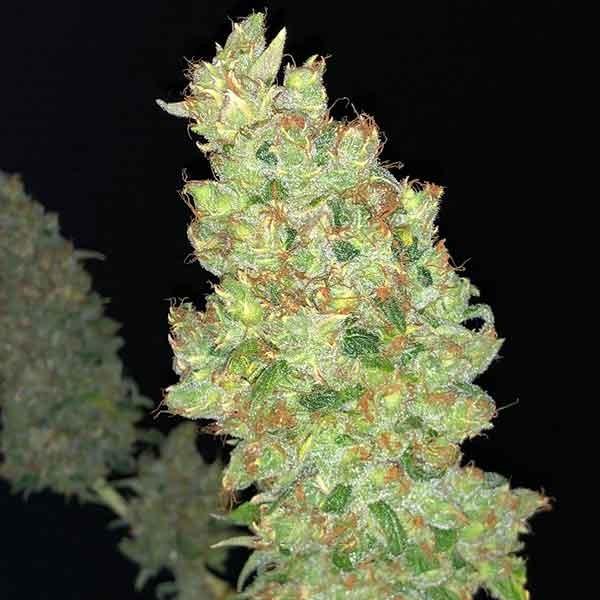 Strawberry AKeil - 6 seeds - Serious Seeds - Seed Banks