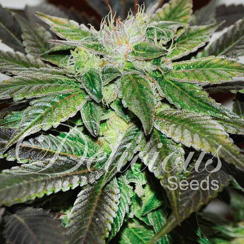 Sugar Candy - Delicious Seeds - Seed Banks