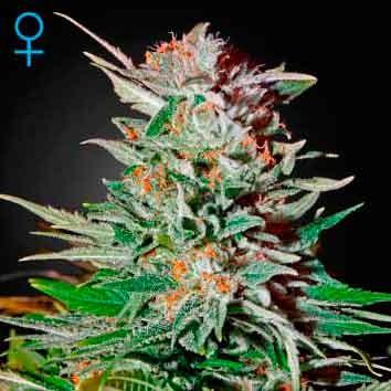 Super Lemon Haze - GreenHouse - Seed Banks