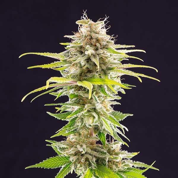 SUPER OG KUSH - Kannabia - Seed Banks
