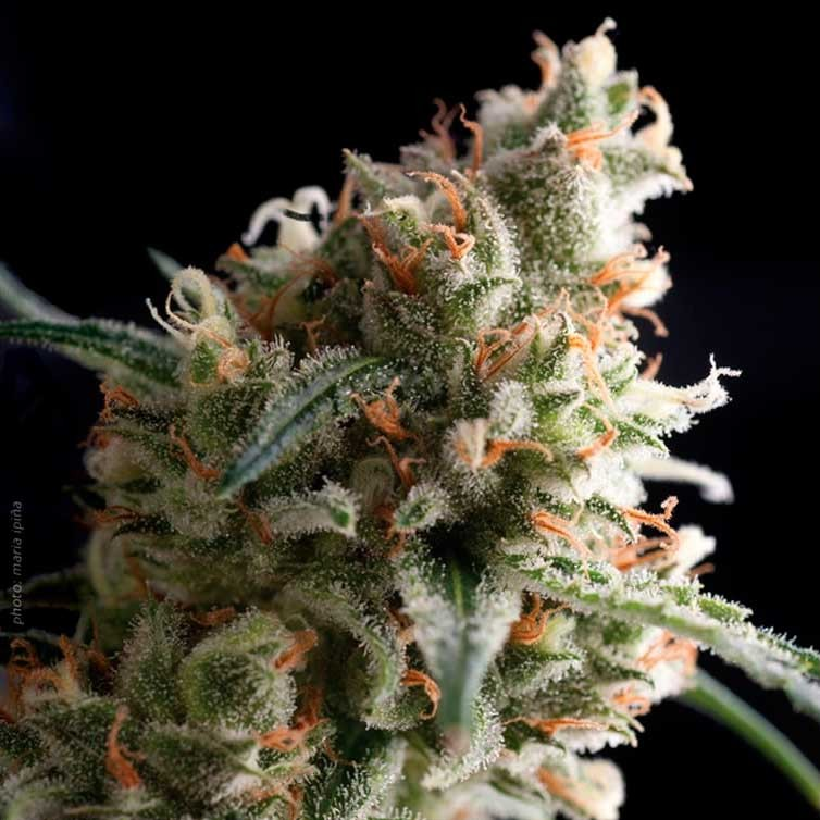 AUTO SUPER HASH - Pyramid Seeds - Seed Banks