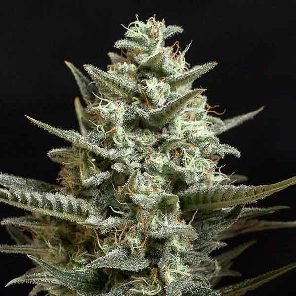 Sweet Bilbo - Genehtik - Seed Banks