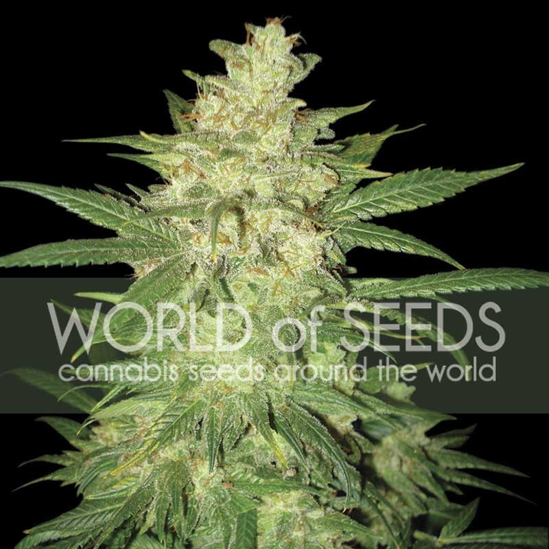 COLOMBIAN GOLD RYDER  - World of Seeds - Seed Banks