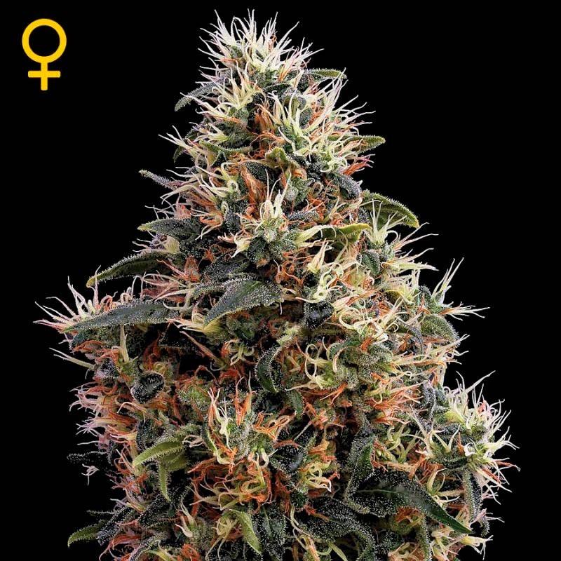 Sweet Mango Auto - GreenHouse - Seed Banks