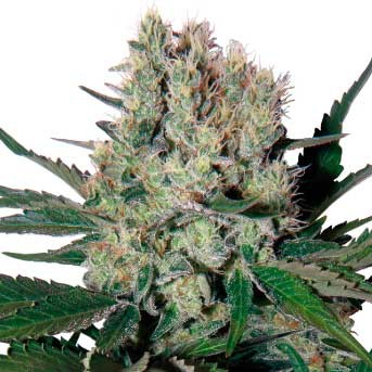Syrup Auto Regular - Buddha Seeds - Seed Banks