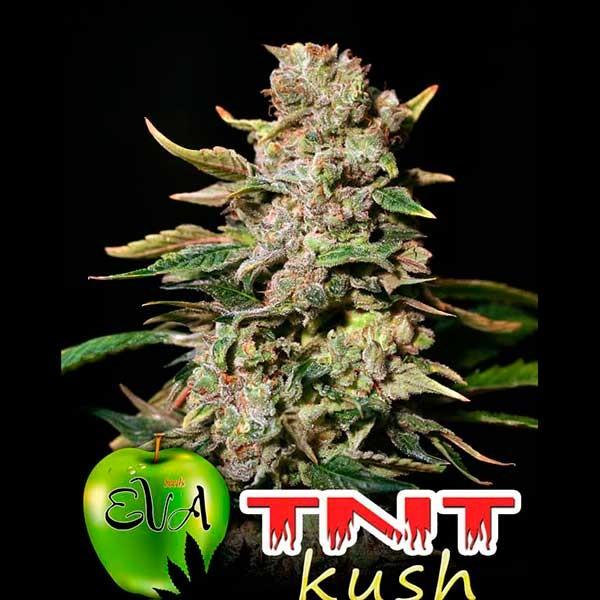 TNT KUSH - Eva Seeds - Seed Banks