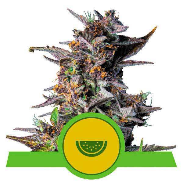 Watermelon Automatic - Royal Queen Seeds - Seed Banks
