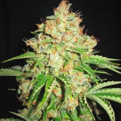 White Russian - 5 seeds - Sagarmatha - Seed Banks