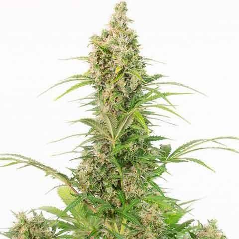 White Widow Autoflowering CBD - Dinafem - Seed Banks
