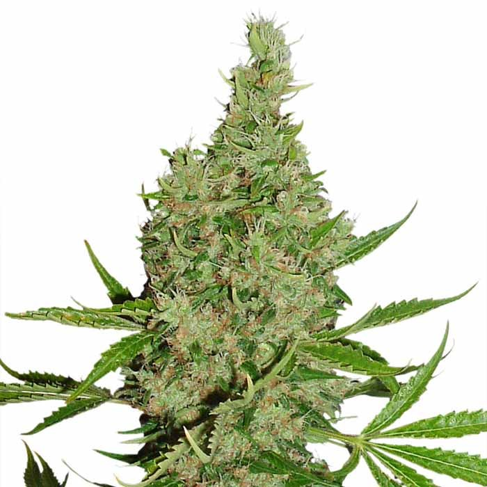 White Widow x The Ultimate - Dutch Passion - Seed Banks