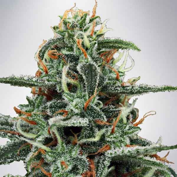 White Widow - Ministry of Cannabis - Seed Banks