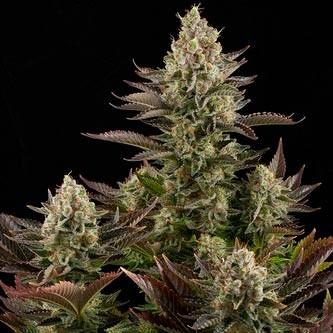 White Widow - Dinafem - Seed Banks