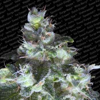 ORIGINAL WHITE WIDOW (IBL) - Paradise Seeds - Seed Banks