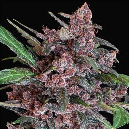 BLACK LEMON AUTO - Samsara Seeds - Exotic Seed
