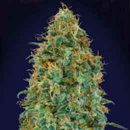 Blueberry - 5 seeds - Samsara Seeds - 00 Seeds