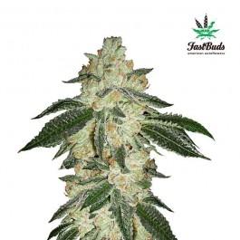 GREEN CRACK - Samsara Seeds - FastBuds