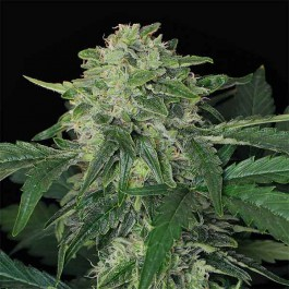 JUNGLE FEVER AUTO - Samsara Seeds - Exotic Seed
