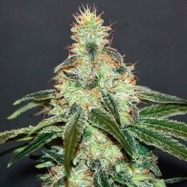 Mataro Blue CBD - Samsara Seeds - Kannabia