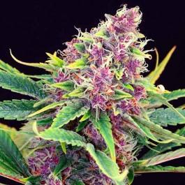Purple Kush - Samsara Seeds - Kannabia