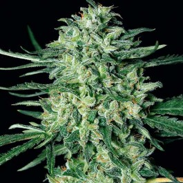 QUICK MASS - Samsara Seeds - Exotic Seed
