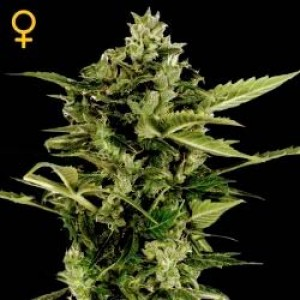 Big bang марихуана сроки марихуаны из организма
