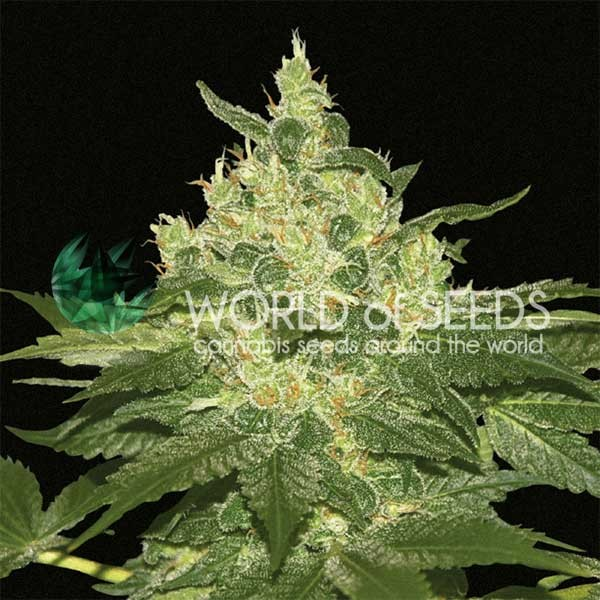 Afghan Kush Regular - 10 semillas - World of Seeds - Seed Banks