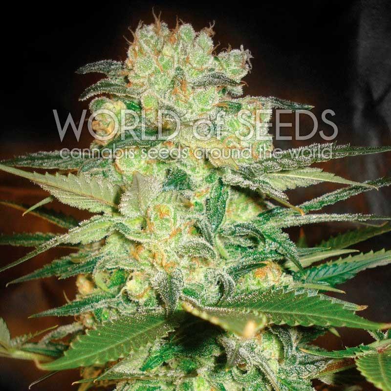 Afghan Kush x White Widow - World of Seeds - Seed Banks