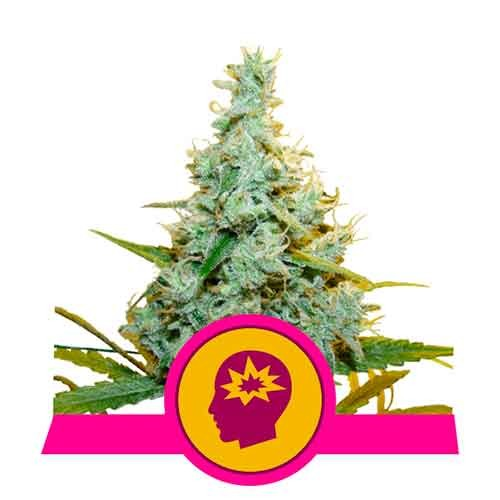 AMG - Amnesia Mac Ganja - Royal Queen Seeds - Seed Banks