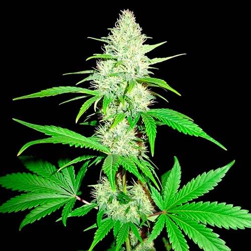 Amnesia Ganja Haze - 3 seeds  - Sumo Seeds - Seed Banks