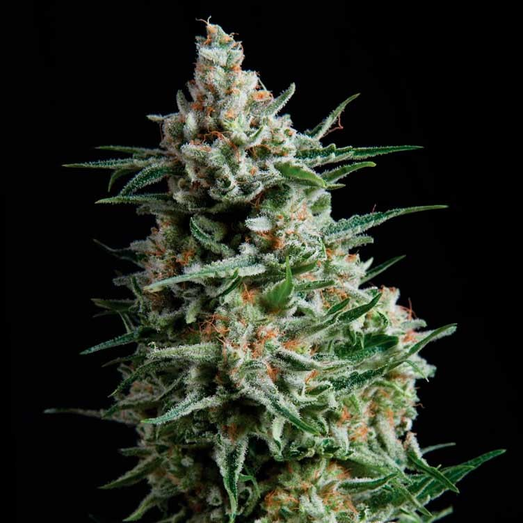AUTO ANESTHESIA - Pyramid Seeds - Seed Banks