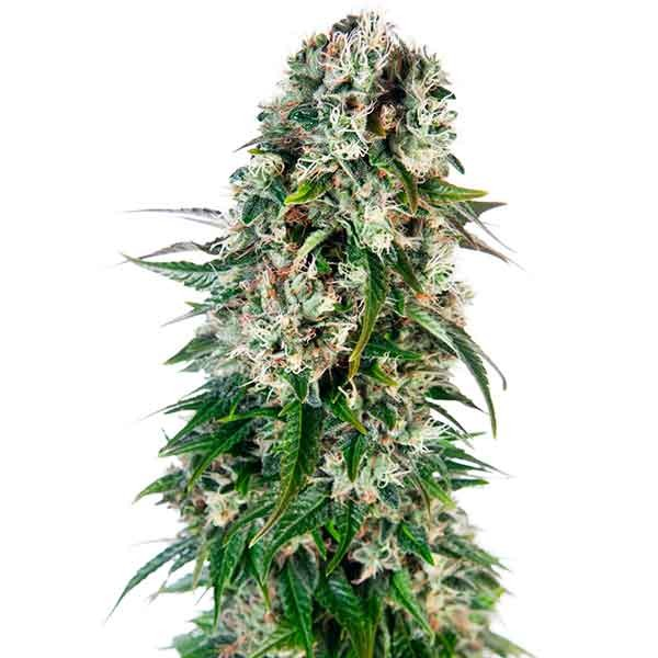Big Bud Automatic - Sensi Seeds - Seed Banks