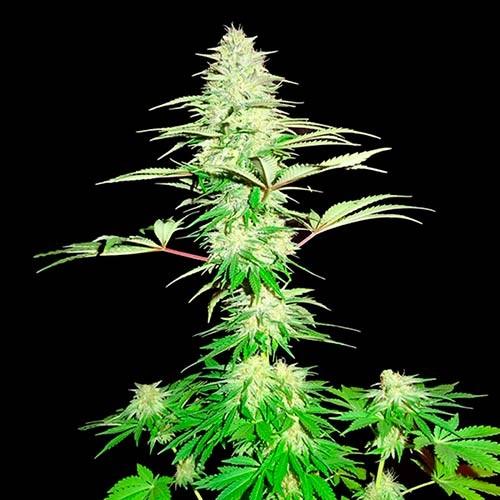 Blue Nitro Haze - 3 seeds - Sumo Seeds - Seed Banks