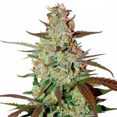 BLUE AUTO MAZAR  - Dutch Passion - Seed Banks