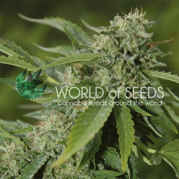 Brazil Amazonia Regular - 10 Semillas - World of Seeds - Seed Banks