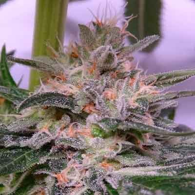 Bubba Hash  - Ace Seeds - Seed Banks