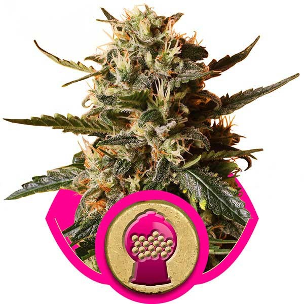 Bubblegum XL - Royal Queen Seeds - Seed Banks