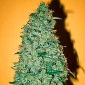 CALIFORNIA DREAM - Mandala Seeds - Seed Banks