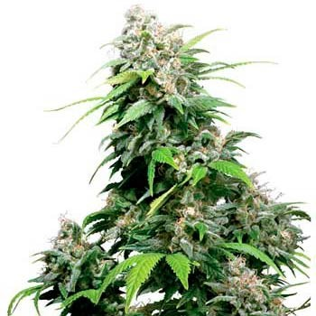 CALIFORNIA INDICA REGULAR - Sensi Seeds - Seed Banks