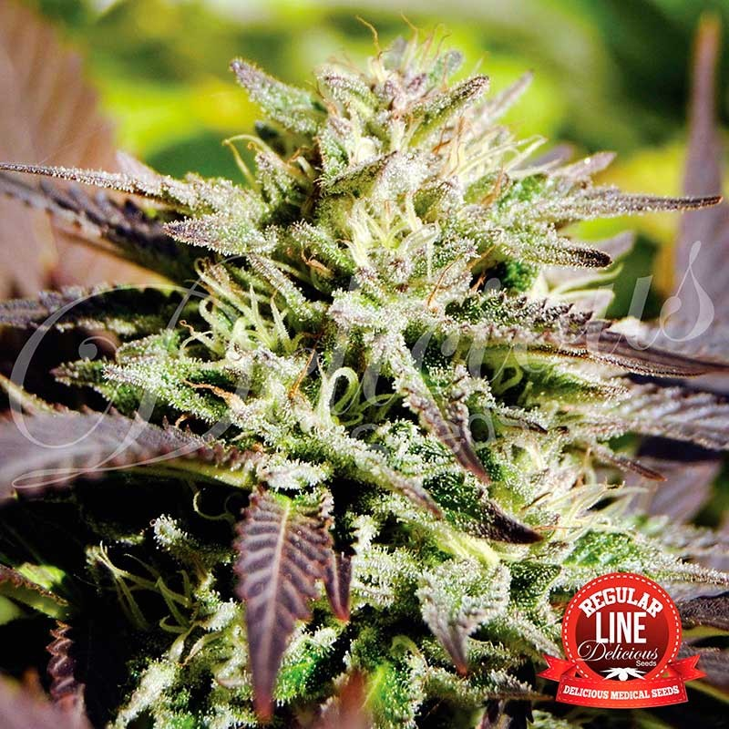 CARAMELO REGULAR - Delicious Seeds - Seed Banks