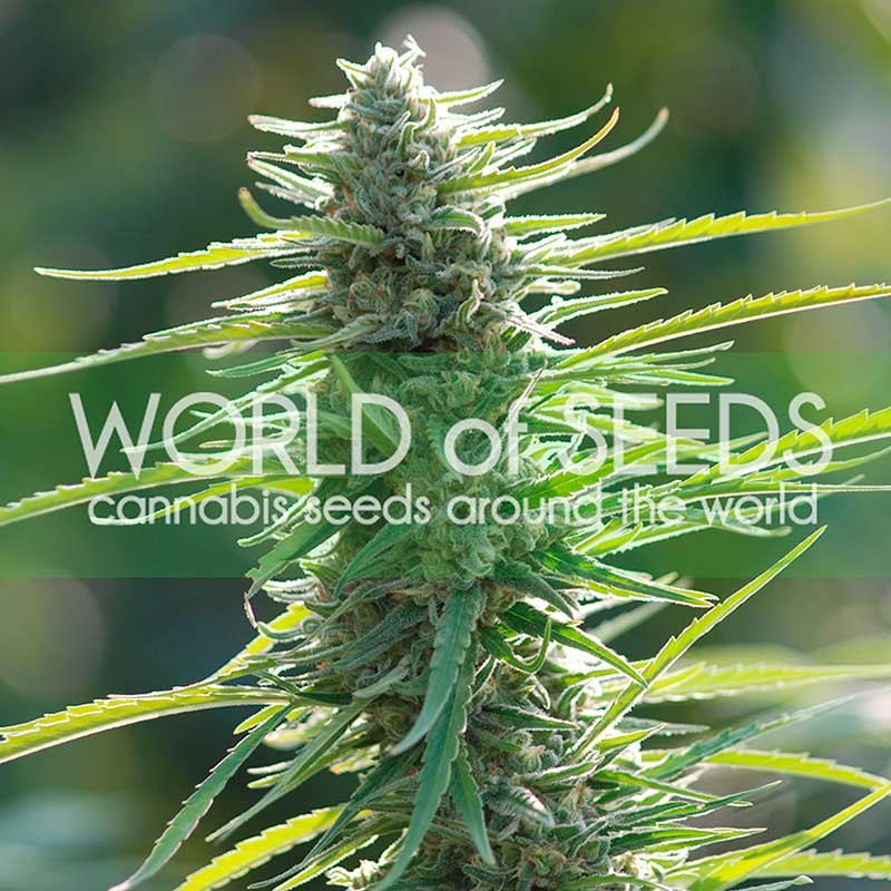 Colombian Gold - World of Seeds - Seed Banks
