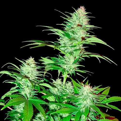 Critical Chronic  - 3 seeds - Sumo Seeds - Seed Banks