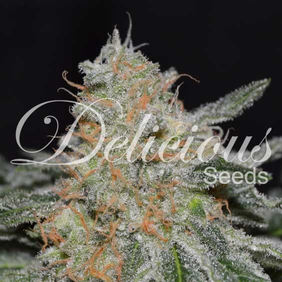 Critical Neville Haze 2.0 - Delicious Seeds - Seed Banks