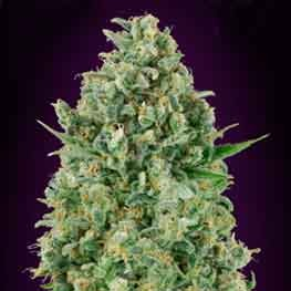 Critical Poison - 5 seeds - 00 Seeds - Seed Banks