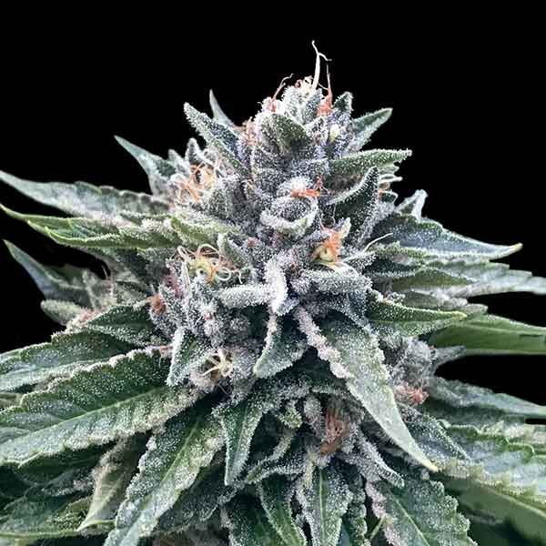 Sorbet #4 - DNA genetics - Seed Banks
